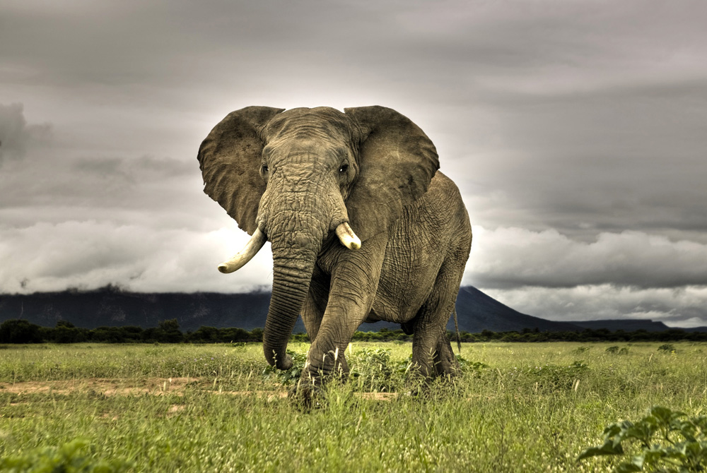 African Elephant Walking on Savanna