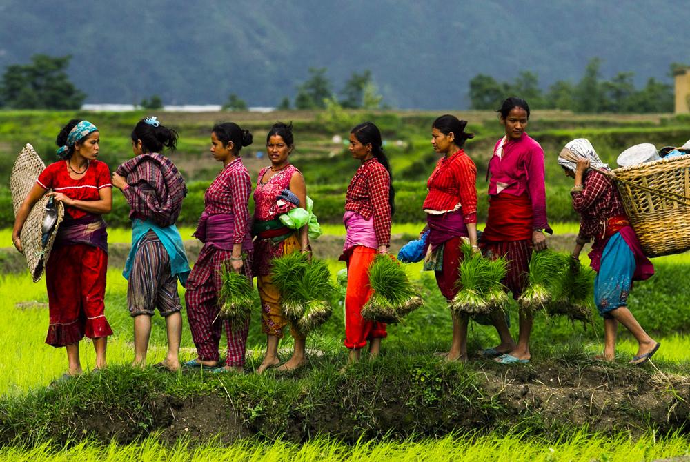 Kelionė į Nepalą ir Butaną (egzotinės kelionės) Nepal rice planting season starts